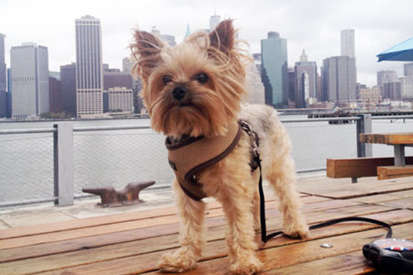 7 Things We Bet You Didn't Know About Yorkshire Terriers. City Dog