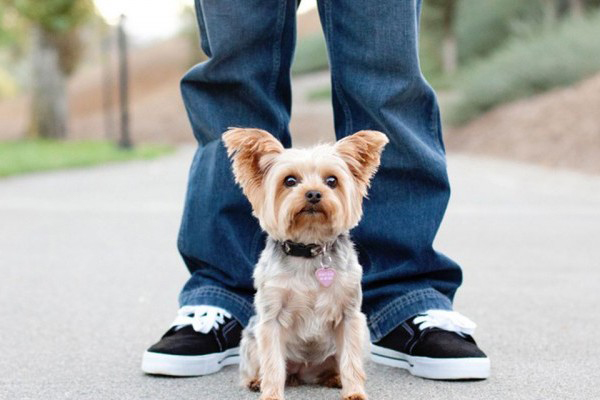 7 Things We Bet You Didn't Know About Yorkshire Terriers. Tiny pup under man's legs