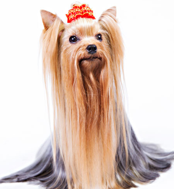 7 Things We Bet You Didn't Know About Yorkshire Terriers. Amazing coat