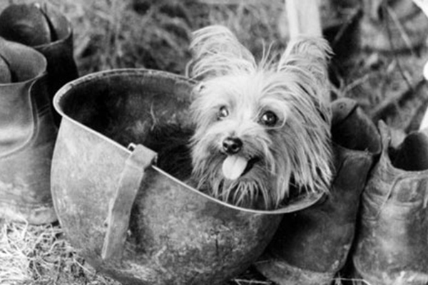 7 Things We Bet You Didn't Know About Yorkshire Terriers. Smoky. World War II